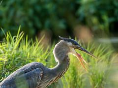 throat trouble (long.fanger) Tags: centreville virginia greatblueheron pond utilityeasementarea