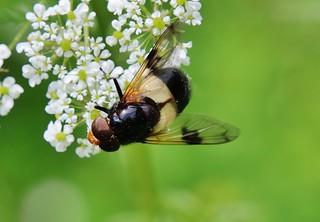 Gemeine Waldschwebfliege (Volucella pellucens)