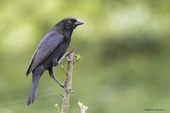 Bronzed Cowbird (Molothrus aeneus) (Gmo_CR) Tags: molothrusaeneus bronzedcowbird vaqueroojirrojo pius costarica coronado