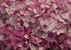 Frame filling pink (eric zijn fotoos) Tags: holland macro noordholland sonyrx10m3 macromonday's nederland bloem tuin garden flower rose pink pattern patroon