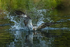 Splash (Paul M Loader) Tags: canon eos 7d mark ii ef70200mm f28l is usm osprey horn mill trout farm