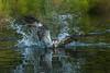 Splash (Paul M Loader) Tags: canon eos 7d mark ii ef70200mm f28l is usm osprey horn mill trout farm