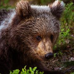 Brown bear cub (CecilieSonstebyPhotography) Tags: cub bjørn portrait cute closeup bears canon animal bearcub brownbear bear bamse wild adorable curious ef100400mmf4556lisiiusm markiii canon5dmarkiii finland specanimal coth5