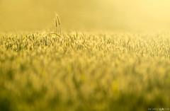 Hold on to me (Photographordie) Tags: tamron300mmf28 tamron 30028 bokeh spring field wheatfield trigo sunset golden goldenlight 300mm green verde atardecer dof desenfoque 60b tamron60b minimalist beautyinnature light sunlight em10 olympusem10 omd omdem10 mirrorless microfourthirds microcuatrotercios