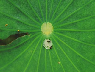 雨滴與螞蟻停駐在荷葉,Water droplets and ants on lotus leaf@Taoyuan