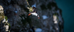 Dive-bomb. Atlantic puffin (Fratercula arctica) (claudiacridge) Tags: puffin seabird sea bird flight fly flying coast coastal nat nature natural wildlife