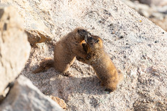 Yellow-bellied Marmots seem to be having a disagreement