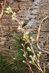 X Cremnosedum ´Penn Ar Ru´ 3780-2; Crassulaceae (3)