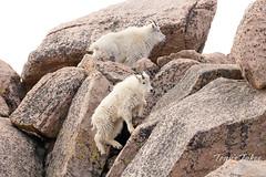 Young Mountain Goats