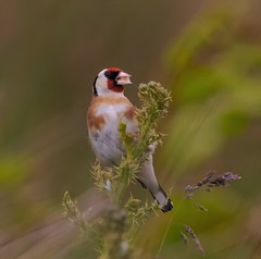Goldfinch (xDigital-Dreamsx) Tags: bird nature wildlife birds red colouful perch