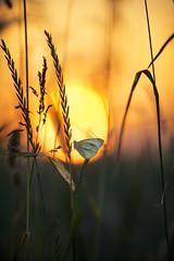 smells like summer (Lena Held) Tags: natur landschaft bokeh macro makro gegenlicht sonnenlicht sonne sonnenschein sonnenuntergang schmetterling light lights sunny sunshine sunlight sounset sundown nature natural butterfly outside outdor canon 5dsr weitwinkel vollformat 135mm zoom tele madow meadow fields