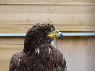 Steller's sea eagle - Wood