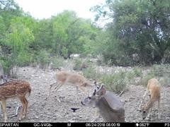 2018-06-24 08:00:19 - Crystal Creek 1 (Crystal Creek Bowhunting) Tags: crystal creek bowhunting trail cam