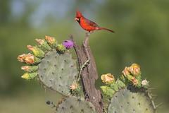 Prickly Pear Northern Cardinal (Jeff Dyck) Tags: northern cardinal northerncardinal cardinaliscardinalis pricklypear edinburg texas birds jeffdyck