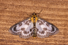 Small Magpie Moth (23627) (jonathanclark) Tags: summer invertebrate insect moth small magpie yellow white hide wwt castleespie countydown northernireland