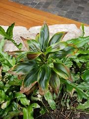 Cordyline: Potassium (K) deficiency (Plant pests and diseases) Tags: cordyline potassium deficeincy necrosis tip burn lower older leaves