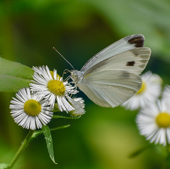 White butterfly on daisy fleabane (Robert-Ang) Tags: gyenampark southkorea seoul wildlife nature daisy daisyfleabane