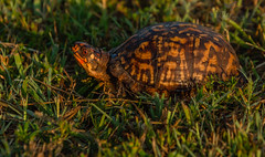 Roadturtle!! (AnthonyVanSchoor) Tags: anthonyvanschoor maryland usa nikond7100 tamron 18400mm marylandbiodiversityproject md dorchestercounty easternshoremaryland nature