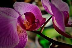 Blumen, Blüten - flowers blossoms, serie, Orchidee,  76317/10273 (roba66) Tags: orchidee orchid orchids blumen blume blüten flower blossom roba66 fleur flori flor flora flores bloem plants pflanzen makro macro closeup colour color farbe