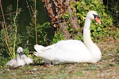Swan cygnets (ekaterina alexander) Tags: swan cygnet cygnets mute cygnus olor wild waterbird young lake chichester lakes nature photography pictures ekaterina alexander england sussex summer