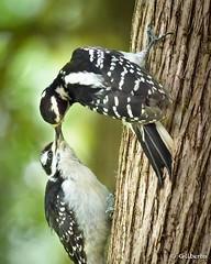 Pic chevelu Femelle - Female Hairy Woodpecker (Gilbert Rolland) Tags: rouge pic chevelu hairy woodpecker becquée bird feeding