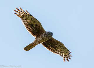 Myrhauk - Hen harrier