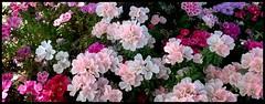 colorful (sevgi_durmaz) Tags: 1001nights flower tree garden bouquet coloful beautiful beautifulflowers pink nature detailsofnature 1001nightsmagiccity 1001nightsmagicgarden