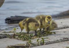 Canada Goose (Branta canadensis) (ekroc101) Tags: birds canadagoose brantacanadensis alaska anchorage westchesterlagoon