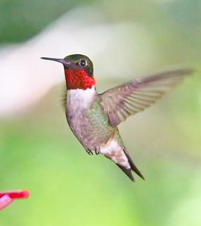 Hummingbird-127w
