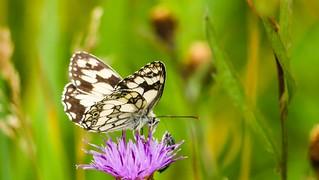 Butterfly - 5438