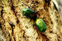 カナブン Drone beetle (takapata) Tags: sony sel90m28g ilce7m2 macro nature insect beetle
