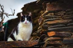 Posando (raperol) Tags: animales calle campilloderanas cat gato guadalajara pueblosnegros street