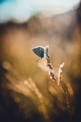 Alohaʻoe (der_peste (on/off)) Tags: butterfly bokeh nature meadow insect blur sun sunlight backlight beautiful