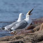 Herring gull dinner thumbnail