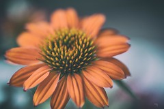 Collateral Beauty (Melinda G Pix) Tags: nature floral garden flower orange