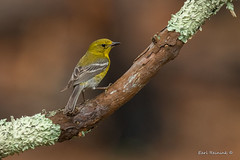 Pine Warbler (Earl Reinink) Tags: bird warbler songbird song animal wildlife pine pinewarbler earl reinink earlreinink outside outdoors nature zuhtdtrdaz