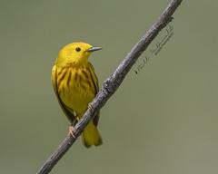Yellow Warbler (Bill McDonald 2016) Tags: yellow warbler songbird spring summer ontario 2018 june wwwtekfxca grenfell perched perching common grenfellweeblycom blog billmcdonald