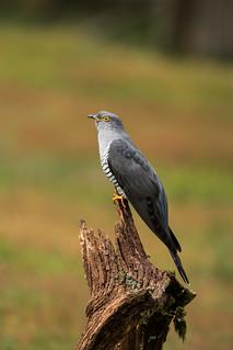 Colin the Cuckoo on his perch