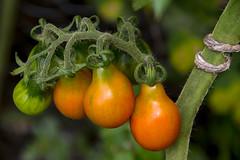 Red pear tomato (gaborcsordas) Tags: pentax ks2 sigma18200 tomato macro plant ripening