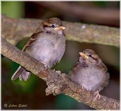 Smith And Jones II (lukiassaikul) Tags: wildlifephotography wildanimals birds wildbirds urbanwildlife birdphotography gardenbirds smallbirds dunnock juveniledunnock flashphotography