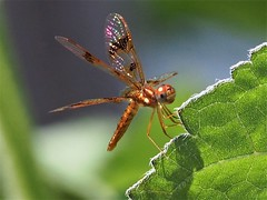 P7180046 (karsheg) Tags: dragonfly insects beauty nature newjersey mybackyard