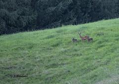Reegeit met jongen (jeannette.dejong) Tags: gnadenwald oostenrijk ree tirol groen bruin bomen bos zwart