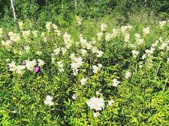 Mesiangervot (ylapihantila) Tags: mesiangervo kukat flowers perisivakka sivakkavaara kesä summer