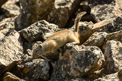 Traveling the 'rocky' road (ChicagoBob46) Tags: uintagroundsquirrel groundsquirrel squirrel yellowstone yellowstonenationalpark nature wildlife coth5 ngc npc