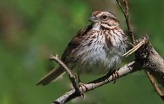 Bruant chanteur (Marie-Helene Levesque) Tags: oiseau abitibi valdor parcdesmarais bruant bruantchanteur mariehélène mariehelene