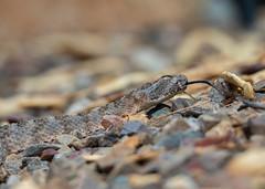 Tiger Rattlesnake - Catalina Foothills, Tucson, AZ (mattybecks3) Tags: 2018 az arizona desert july rattlesnake southwest tucson critter poison poisonous reptile snake catalina foothills tiger ngc natgeo