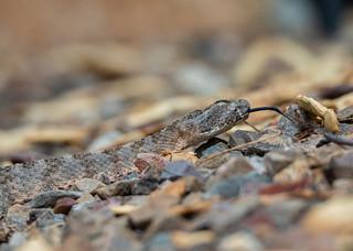 Tiger Rattlesnake - Catalina Foothills, Tucson, AZ