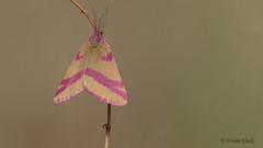 Ampfer-Purpurspanner (Oerliuschi) Tags: insekten schmetterlinge nachtfalter tagaktiv augustdorferdünenfeld nahaufnahme senne magerrasen heidelandschaft zwergspanner butterfly