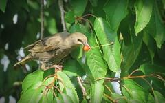 Got it ! (Deida 1) Tags: starling juvenile bird cherrytree garden uk staffordshire wildlife