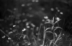 (Armin Schuhmann) Tags: 2017 praktica mtl3 meyer meyeroptik görlitz oreston 50mm f18 zebra vintagecamera vintagelens vintage old prime ddr orwo np15 25asa expired extremelyexpired expired1989 greenfilter rodinal 150 scan selfdeveloped shootfilm schwarzweiss sw screwmount schwarzundweiss schwarzweis filmscan manual monochrome monochrom argentique analogue analog analogic filmisnotdead filmphotography filmphoto film filme pelicula ishootfilm believeinfilm buyfilmnotmegapixels bw bokeh blackandwhite blackwhite northeast noiretblanc estrie easterntownships quebec canada nature wildflower floral forest countryside grass m42